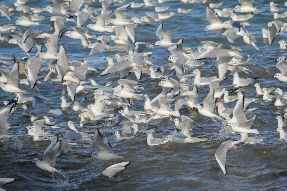 Bonaparte's gulls feeding at Rich Marina, Buffalo