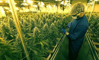 Marijuana-6-Robert-Kirkham (copy) (copy)