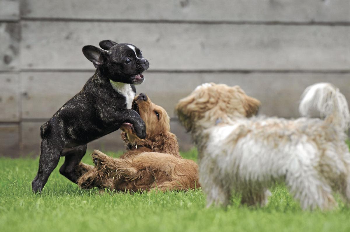 playing-puppies-790638_CMYK.jpg