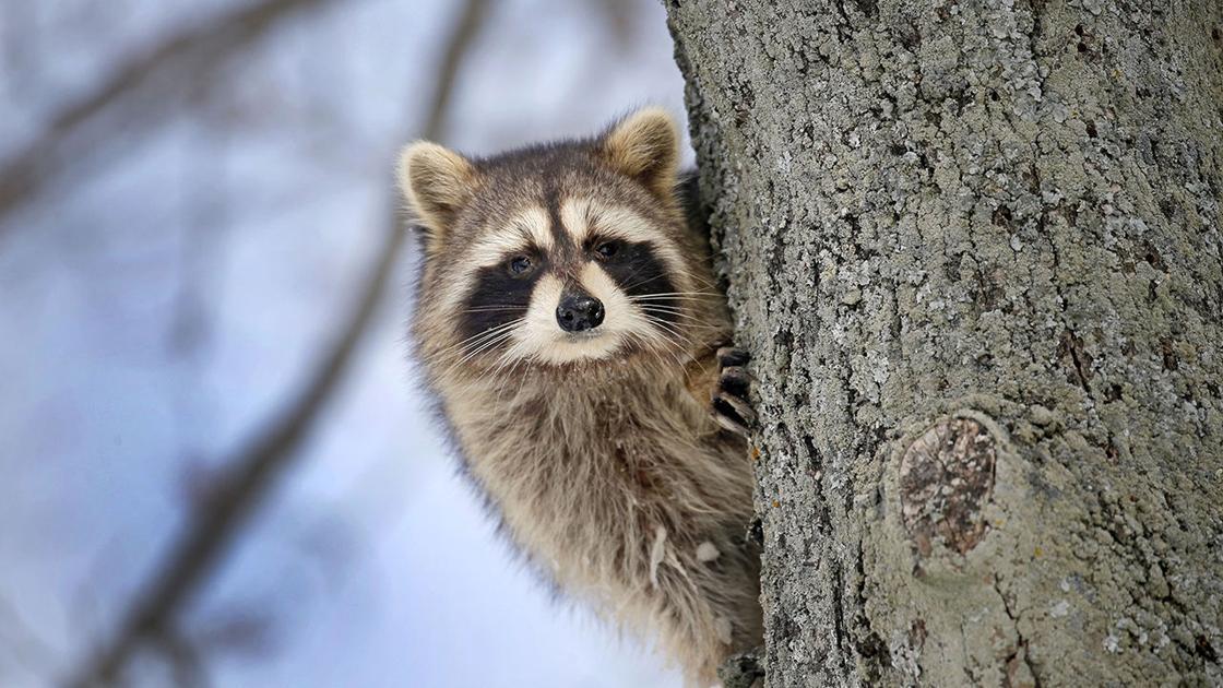 Annual airdrop of raccoon rabies vaccine will begin next week