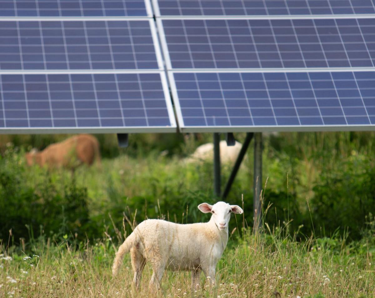 Sheep solar panels