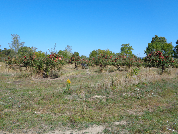 Sanger Farms apple orchard