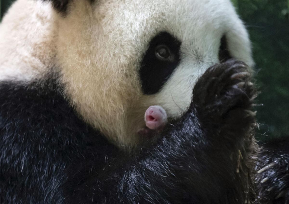 France China Pandas