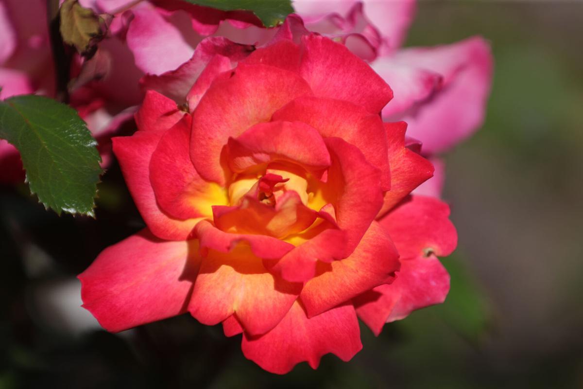 Rose Garden Hickey