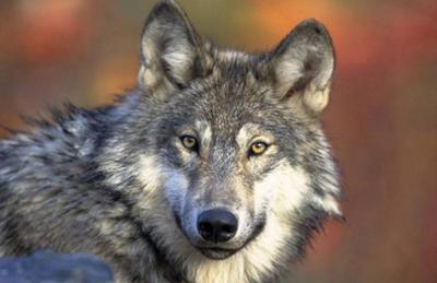 Wisconsin's image took a hit recently when 216 wolves were killed during a three-day Badger State hunt— a toll that was 82% over the hunt's quota.