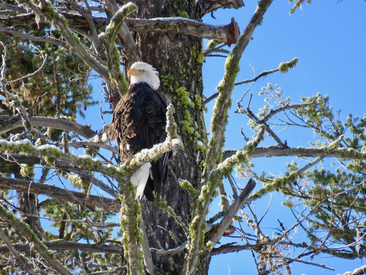 Bald Eagle count Winter eagle.jpeg