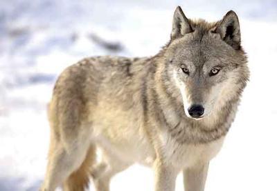 Hunters-wolf-WEB.jpg