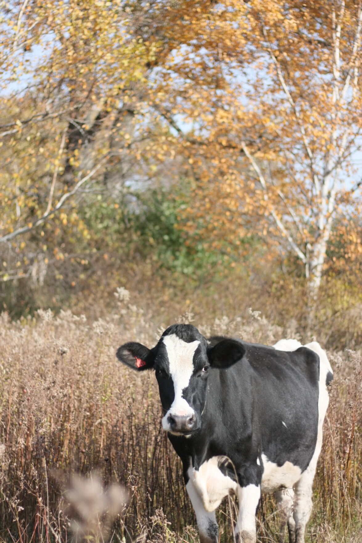 Cherries, cows, and cognitive dissonance 1.JPG