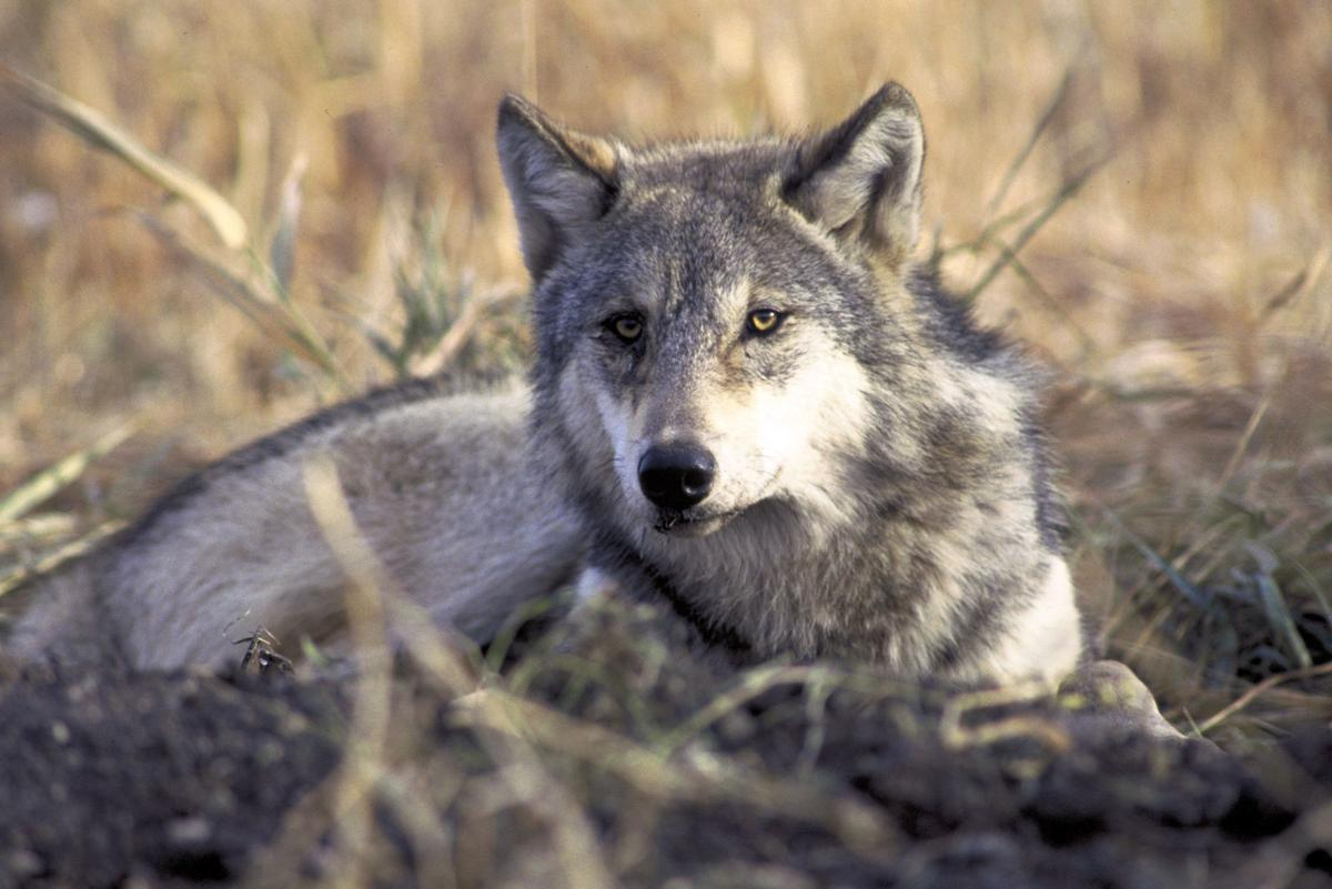 FRONT PAGEGray_wolf_02.jpg