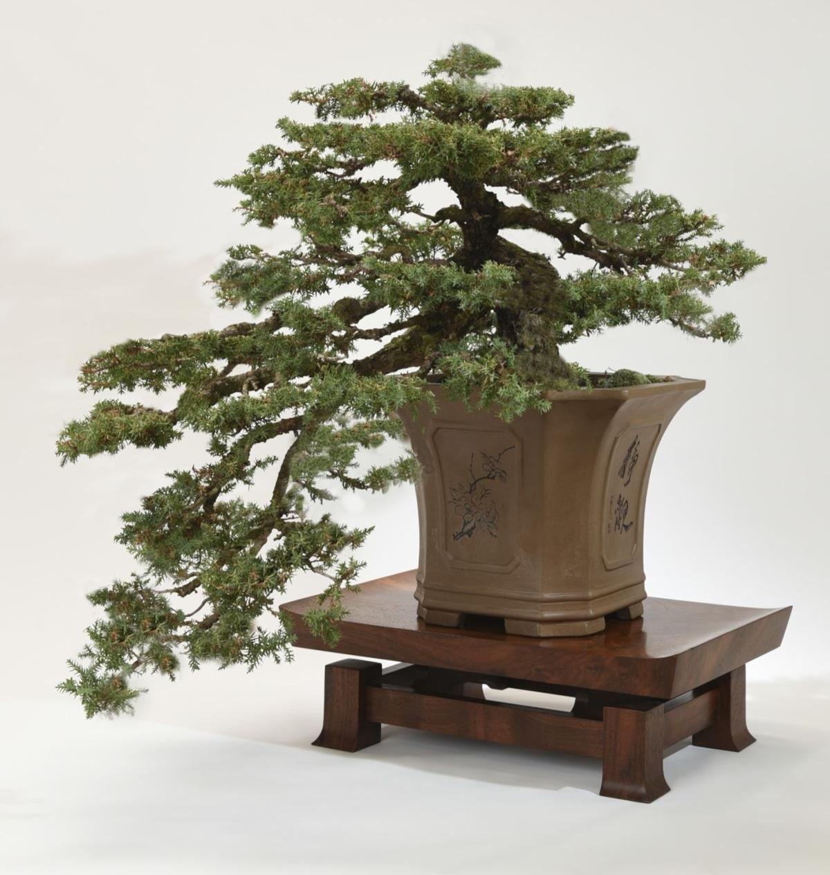 Bonsai Is More Than Trees Home Wiring Maple