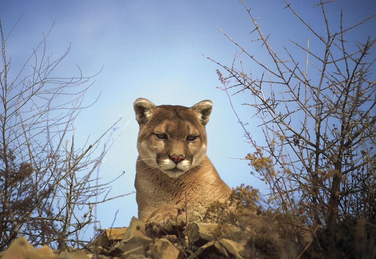 New permit rules protect mountain lions, but tie hands of western Sierra ranchers