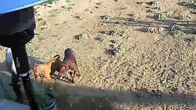 Dogs suspected in Valley Springs killing of 2 horses impounded; owner arrested in Stockton