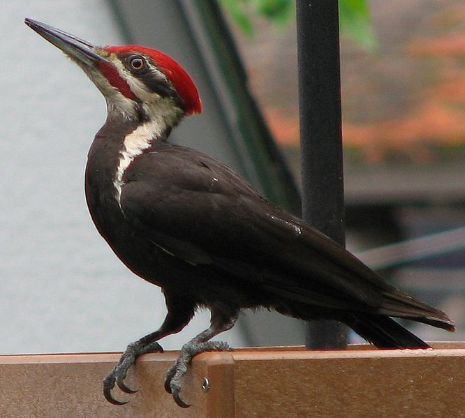 Knock On Wood The Pileated Woodpecker Sierra Critters