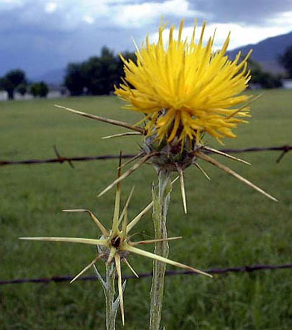 Yellow starthistle 15 million acres and counting calaveras yellow starthistle 15 million acres and counting mightylinksfo