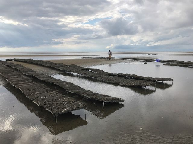 Oyster Industry Learning Curve: Coexisting with Red Knots, Crabs