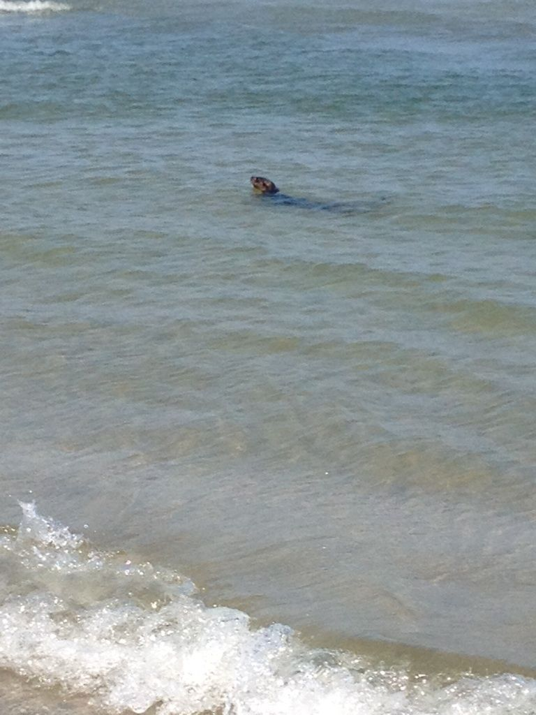 Otters Sighted In North Wildwood