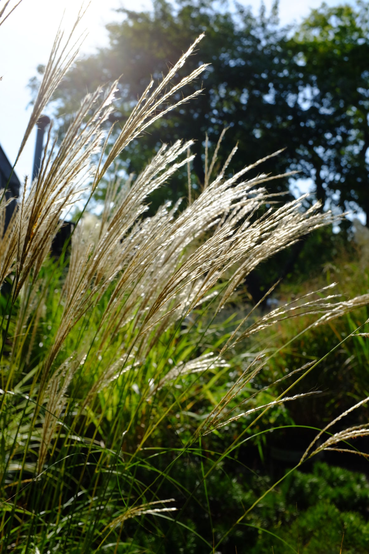 Maiden Grass plumes backlit by the morning sun.