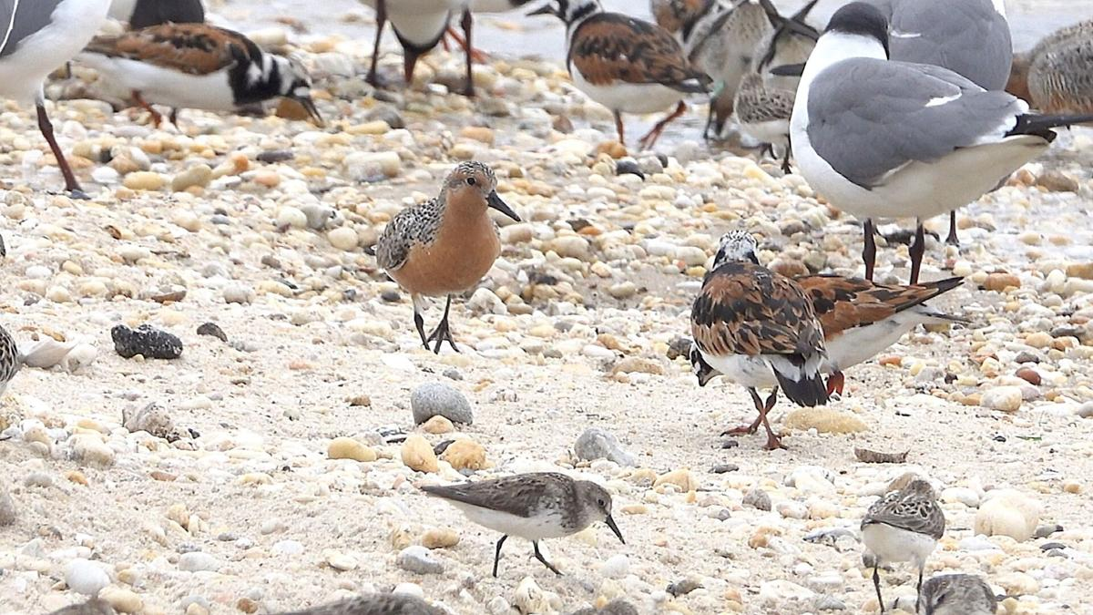 Red Knot new 5.jpg