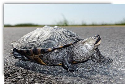 DEP Urges Motorists To Watch For Turtles Crossing Roadways During Nesting Season1