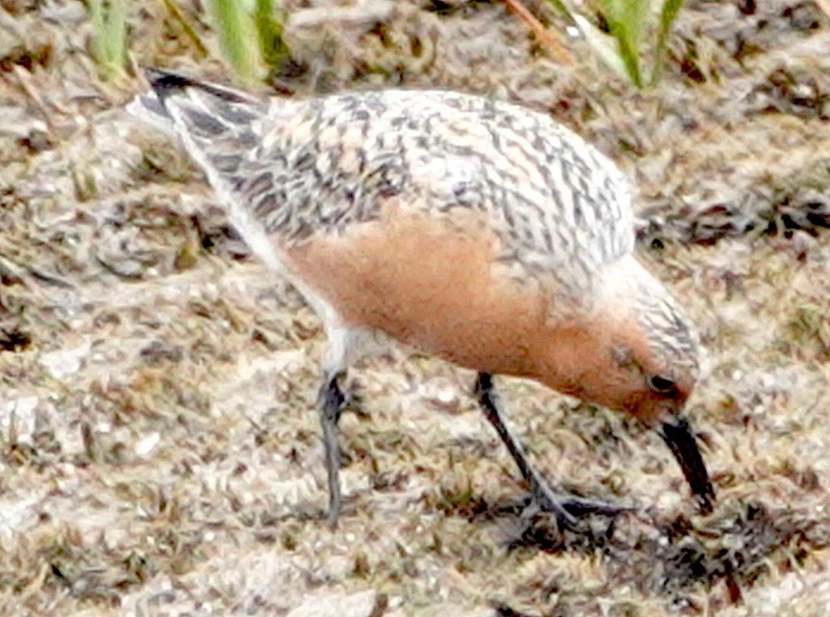 CNTY STORY - Red Knots Crabs 2020 -4.jpg