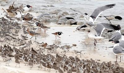 CNTY STORY - Red Knots Crabs 2020-5.jpg