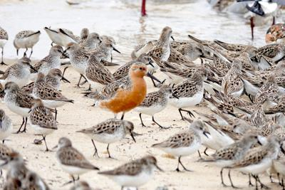 CNTY STORY Red Knots Crabs 2020-2.jpg