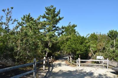 Japanese Black Pines in Avalon Dunes.JPG