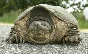 DEP Urges Motorists To Watch For Turtles Crossing Roadways During Nesting Season2