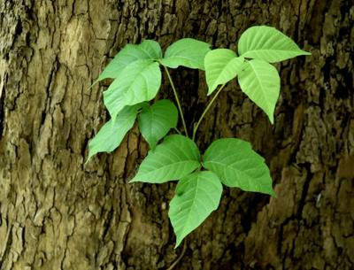 "Rutgers Cooperative Extension of Cape May County Hosts Free Talk on ""Warfare Ivy"" (AKA Poison Ivy)"