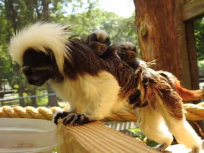 Zoo - Cotton-topped Tamarin - Twins.JPG