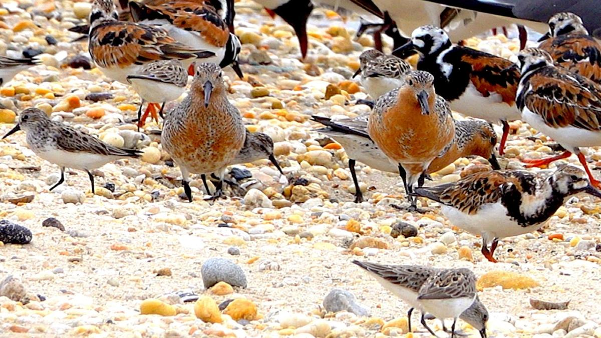 Red knot pic 1.jpg
