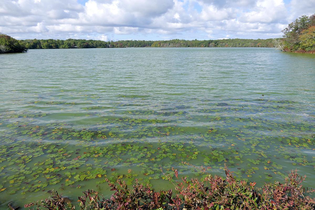 Santuit Pond Cyanobacteria Bloom