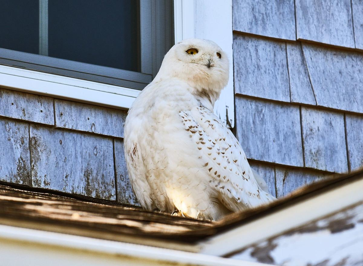 Snowy Owl Visits Falmouth