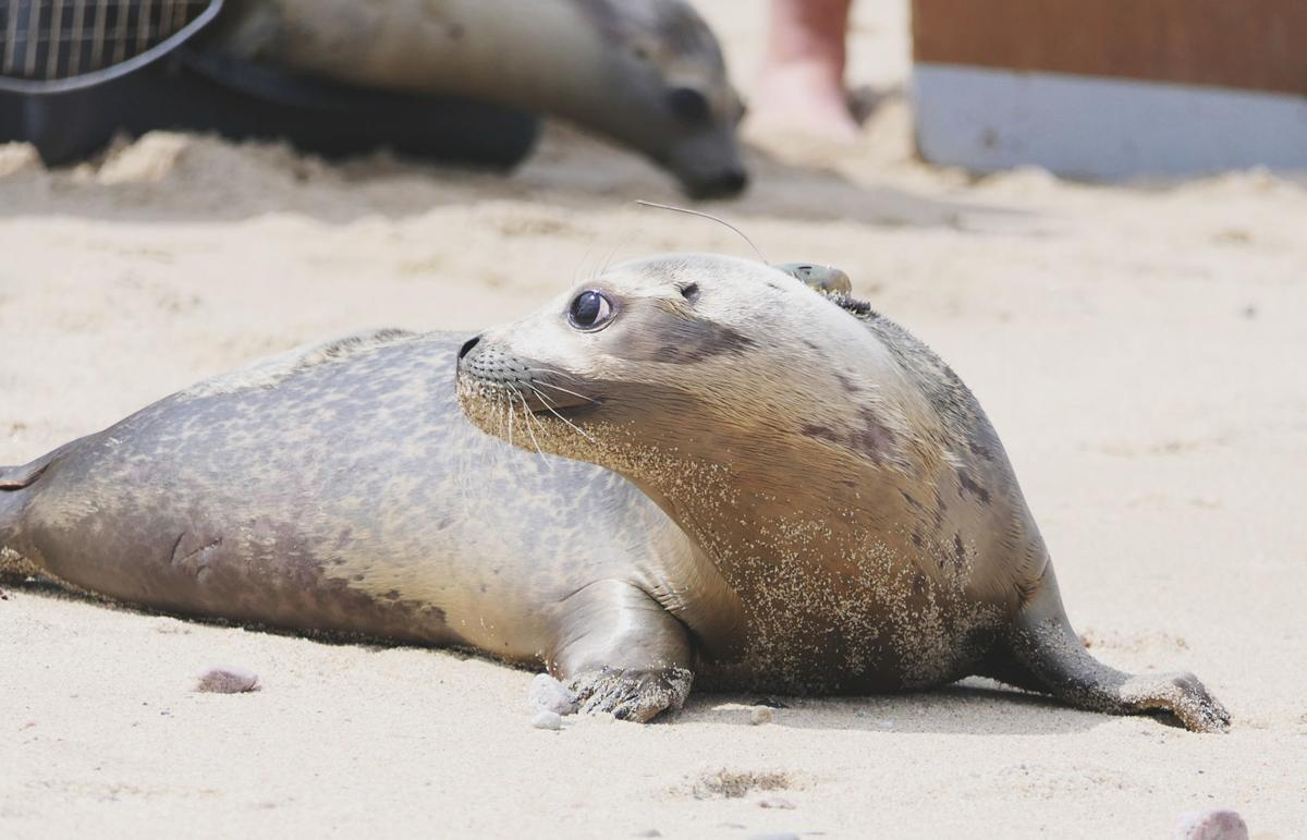 Seal Release At Scusset Beach
