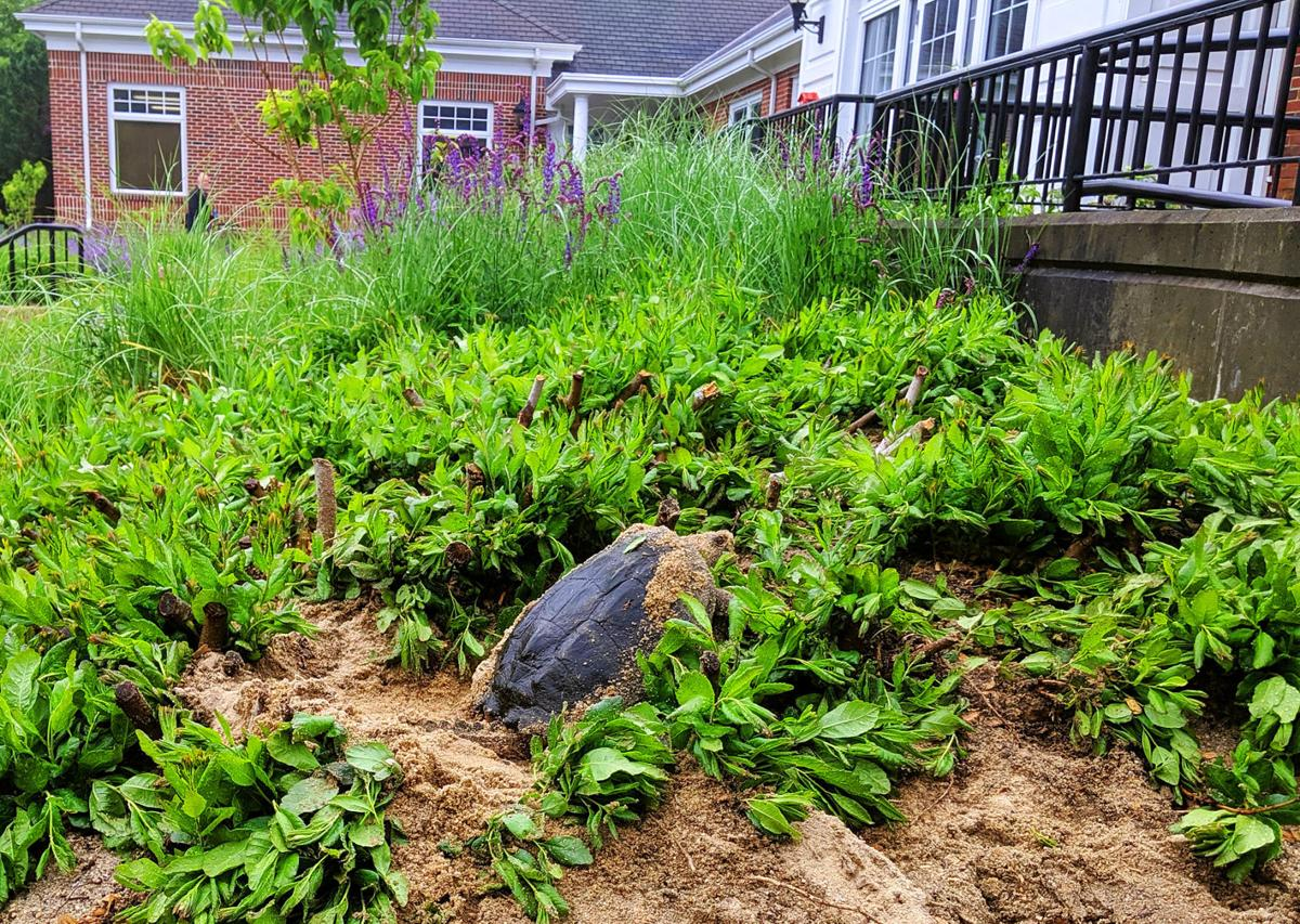 Turtle Hangs Out In Front Of Town Hall