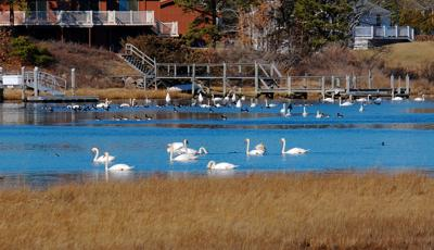 Swans On Green Pond