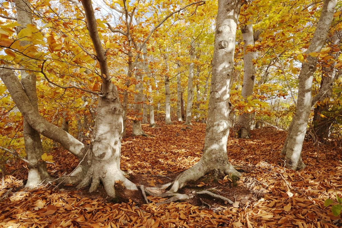 Beech Trees At Lowell Holly