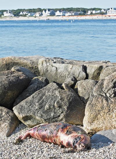 Seal Found Dead