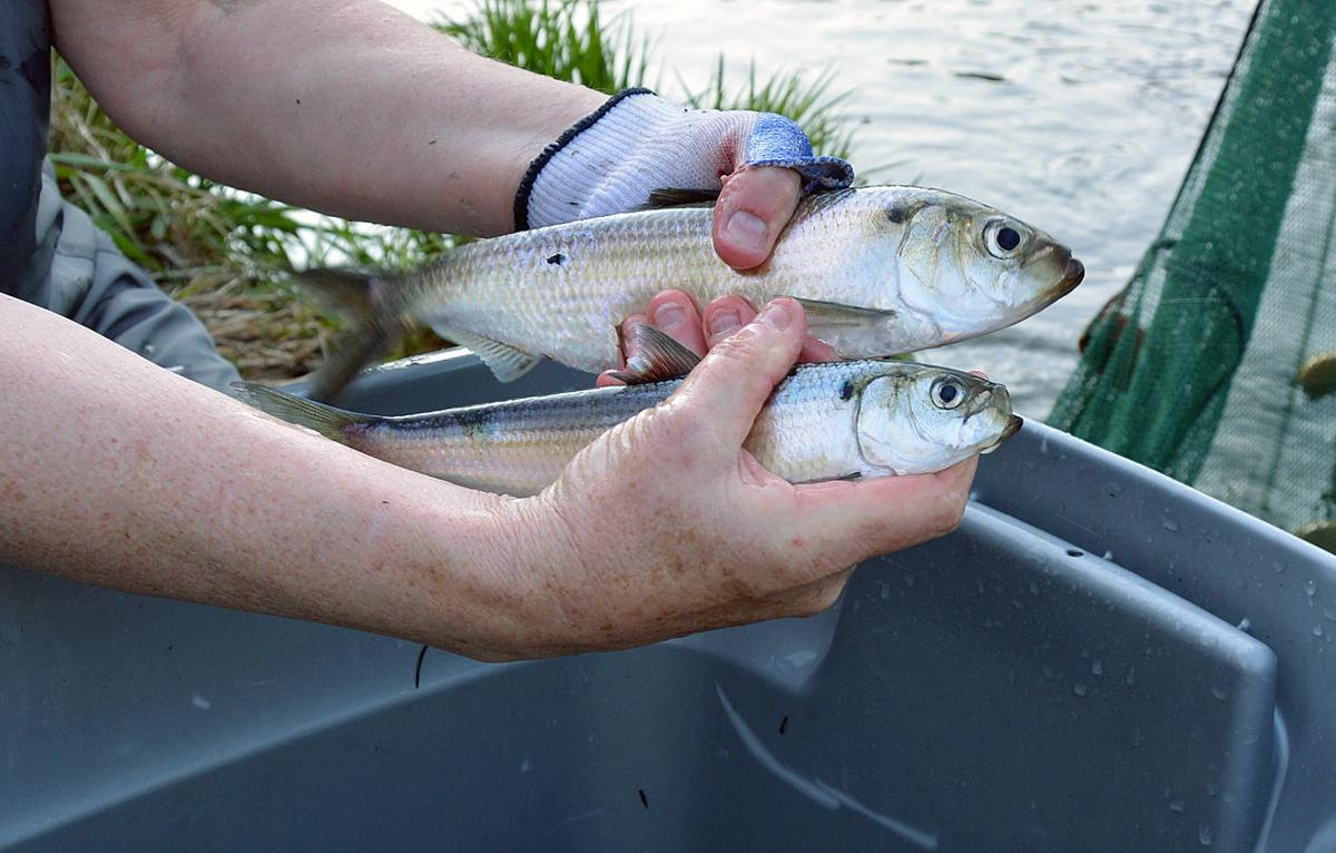 Tagging Herring In The Coonamessett River