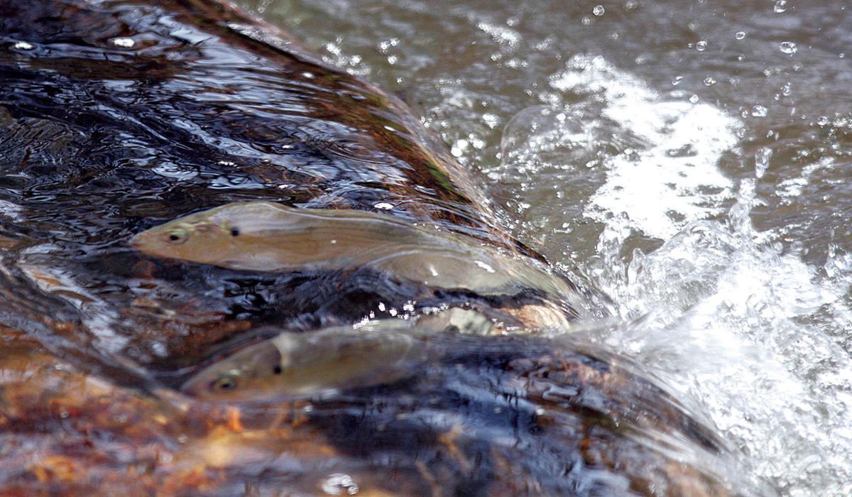Herring - Santuit River