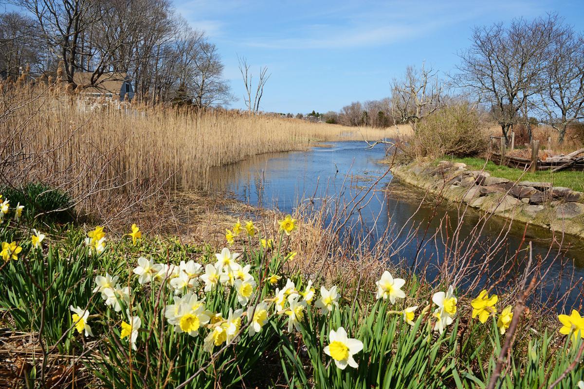Mill Creek Daffodils