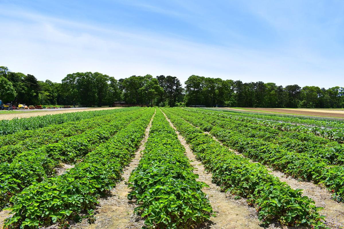 Pick-Your-Own Strawberries At Tony Andrews Farm This Saturday