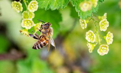 CCMNH Honey Bee
