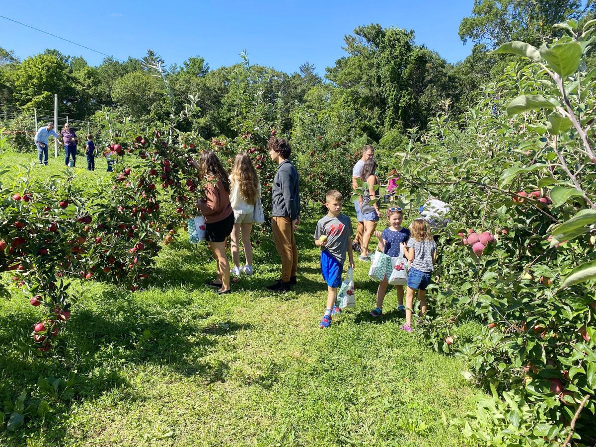 Apple Picking At Crow Farm