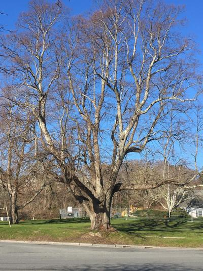 Tree Watch Column, April 30, 2021