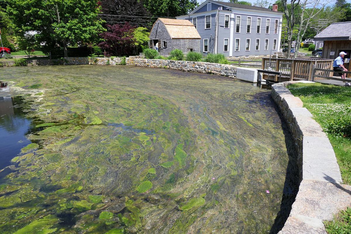 Shawme Pond Algae