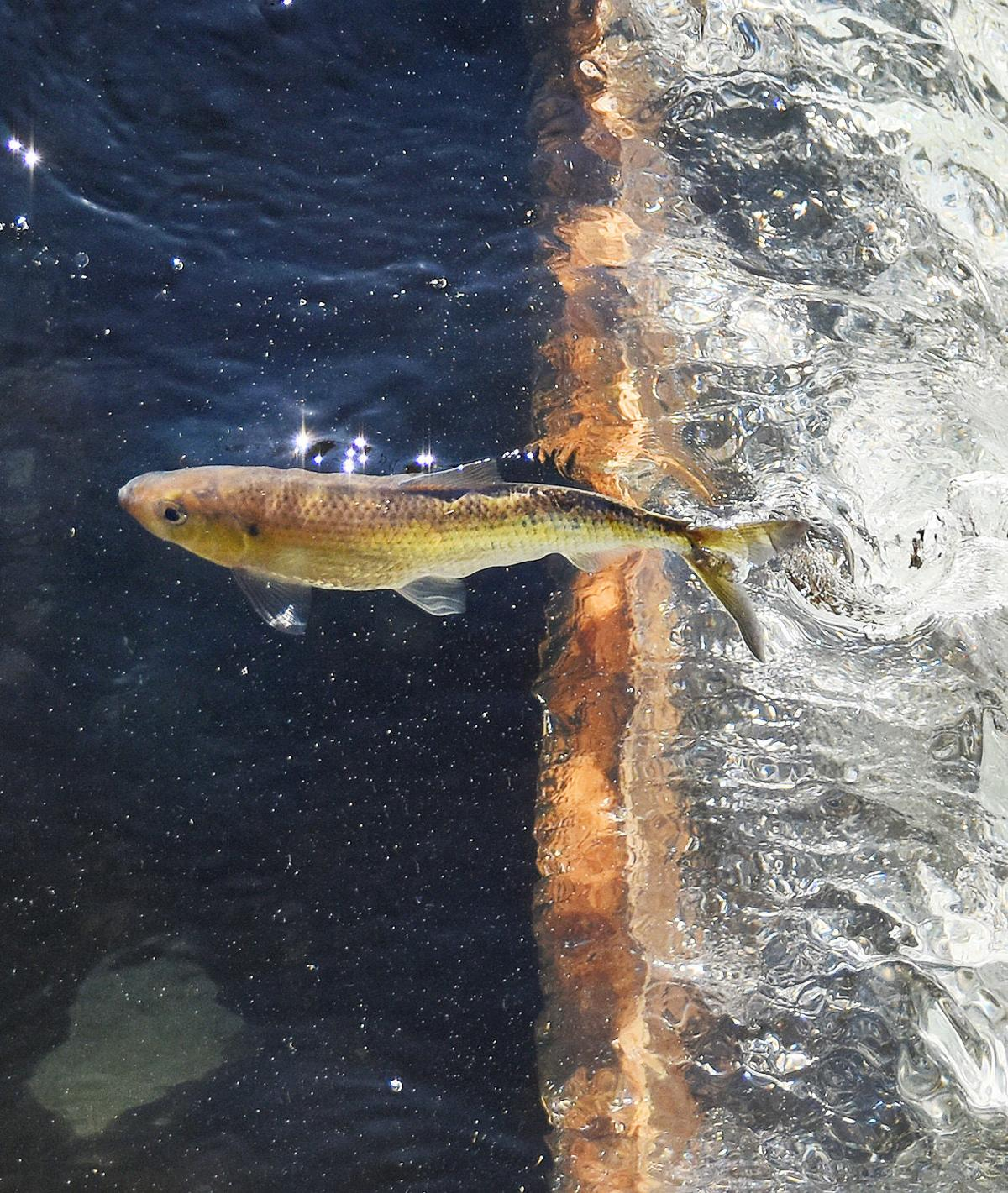 The Coonamessett River Trust Is Clearing The Way For Herring To Run