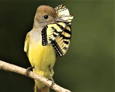 Declining insect populations threaten birds