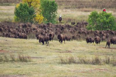 Thousands attend Custer State Park Buffalo Roundup