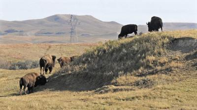 Buffalo Quarantine